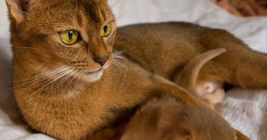 Habeş Kedisi (Abyssinian)