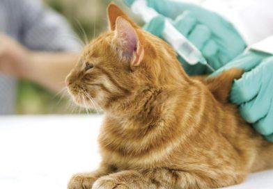 Kedilerde Alt İdrar Yolu Hastalığı