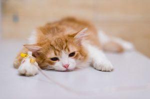 kedilerde-böbrek-yetmezliği-tedavisi-belirtileri-nedenleri-nelerdir.