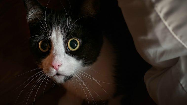 kedilerde davranış bozukluğu