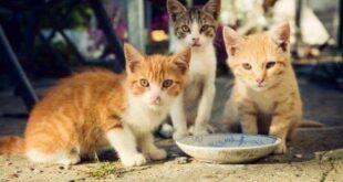 Numune kedi maması